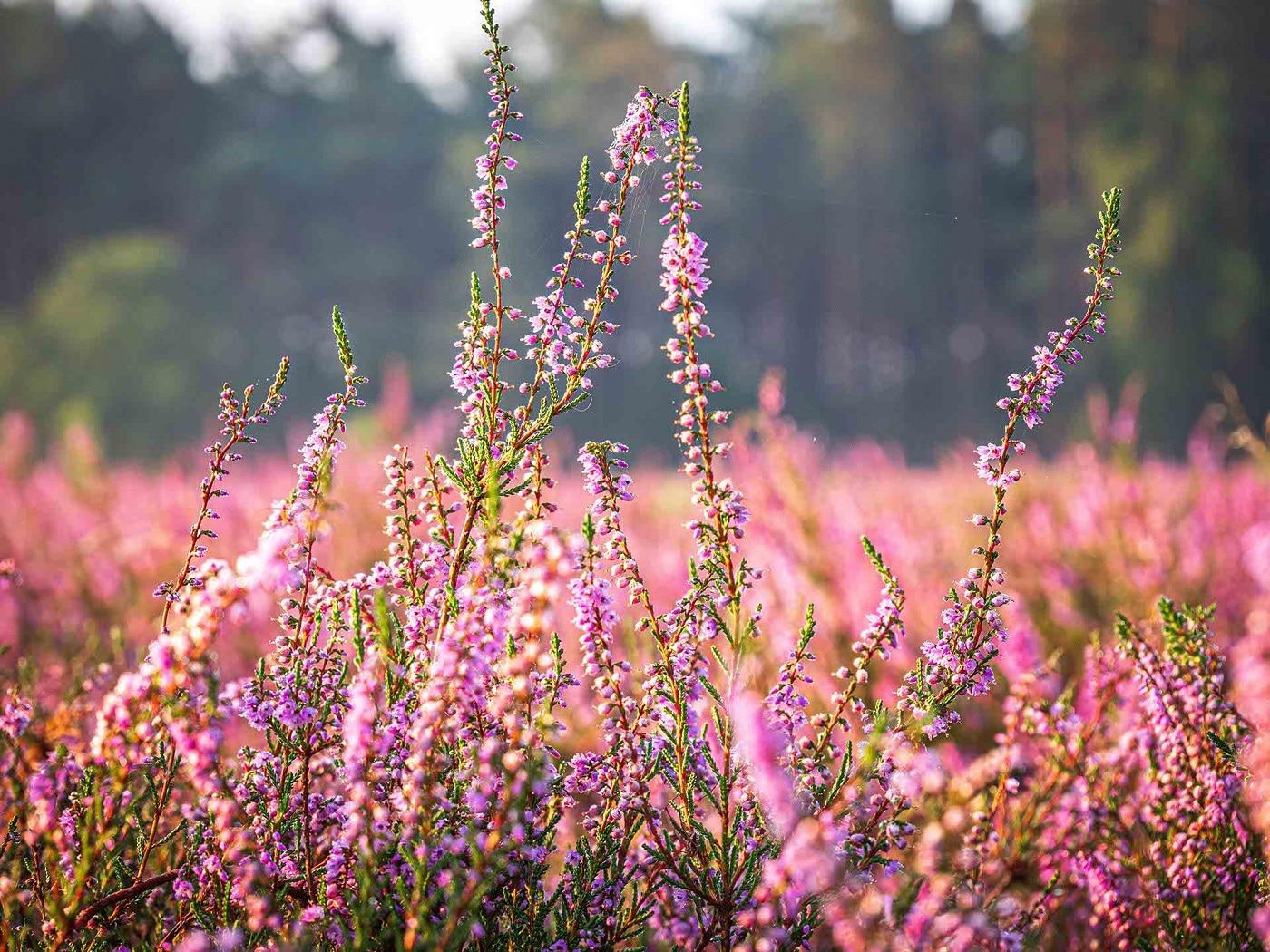Heideblüte 2020- Schneverdingen