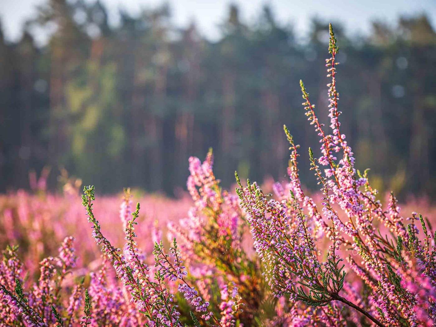 Heideblüte 2020 - Schneverdingen